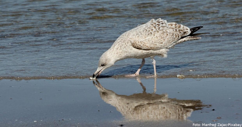 Silbermöwe am Strand