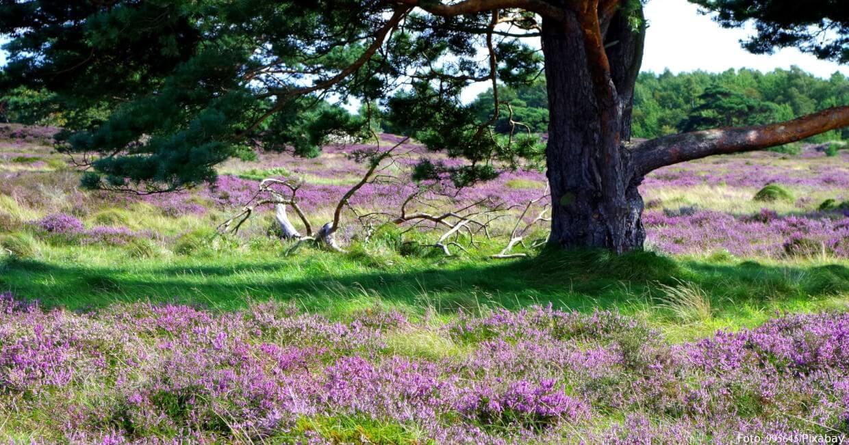 Hiddensee: Sanddünen mit Heidekraut und Kiefern