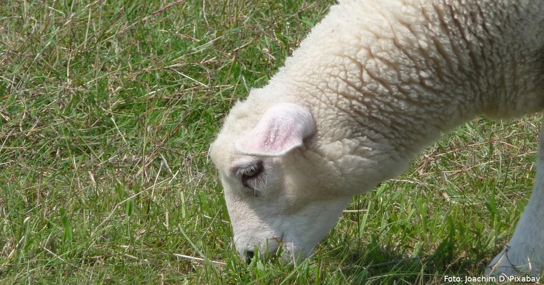 Grasendes Schaf auf dem Deich